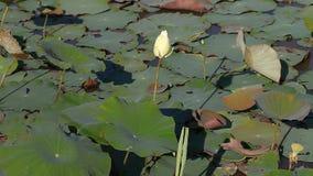 Lotus - la fleur sacrée du bouddhisme banque de vidéos
