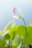 Lotus in Lake Stock Images