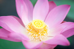 Lotus. The lotus in the lake Stock Photos