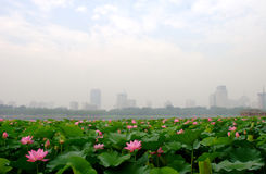 lotus in lake in beijing Royalty Free Stock Image
