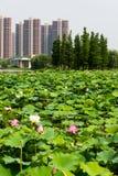 Lotus lake park scenery Stock Photo