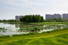 Lotus lake park scenery Royalty Free Stock Image