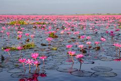 Lotus Lake rossa a Han Kumphawapi in Udonthani, Tailandia fotografia stock