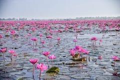 Lotus Lake rossa in Udon Thani, Tailandia fotografia stock