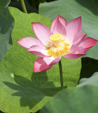 Lotus in the lake Royalty Free Stock Image