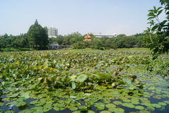 Lotus Lake Royalty Free Stock Photo