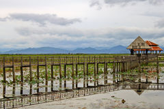 The Lotus lake. Stock Image