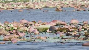 Lotus in lake stock video footage