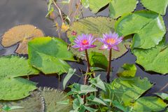 Lotus-landbouwbedrijf na de regen Royalty-vrije Stock Fotografie