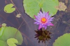 Lotus-landbouwbedrijf na de regen Royalty-vrije Stock Afbeelding