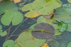 Lotus-landbouwbedrijf na de regen Stock Foto's