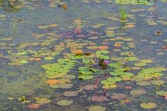 Lotus-landbouwbedrijf na de regen Stock Afbeeldingen