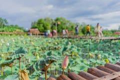 Lotus-landbouwbedrijf na de regen Stock Afbeelding