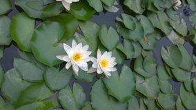 Lotus, Landschaft, Reise, Lizenzfreies Stockfoto