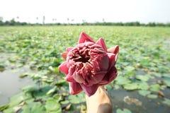Lotus lantgård fotografering för bildbyråer