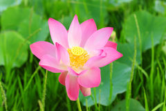 Lotus. Large waterlily is make colourful to the river Stock Photos