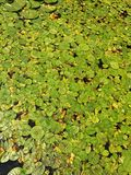 Lotus Leaf fotografia stock libera da diritti