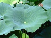 Lotus Leaf Image libre de droits