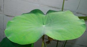 Lotus Leaf Fotografía de archivo