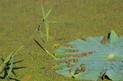 Lotus Leaf Arkivbild