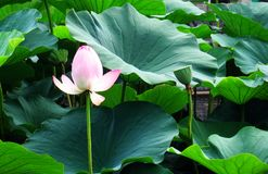 Lotus and Leaf. The lotus Surrounded by the lotus leaf Royalty Free Stock Photos