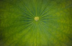 Lotus Leaf Photographie stock libre de droits