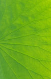 Lotus leaf Stock Images