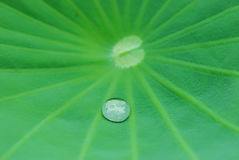 Lotus leaf. A bead on a lotus leaf royalty free stock photos