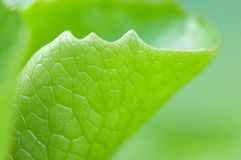 Lotus leaf. Green lotus leaf close up Stock Photos
