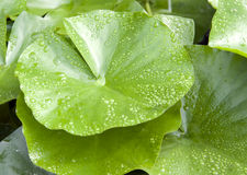 Lotus leaf. Morning dew on a lotus leaf stock image