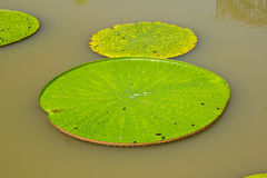 The Lotus leaf. In the park stock image