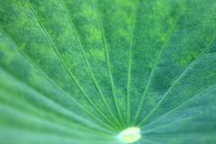 Lotus leaf Stock Image