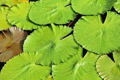Lotus leaf Royalty Free Stock Photos