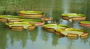 Lotus leaf. The big lotus leaf on park lake Stock Photos