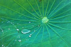 Lotus leaf. Green close up lotus leaf and water drop Stock Photo