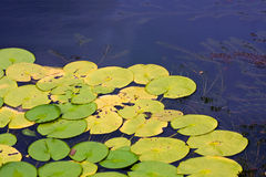 Lotus Leaf. On the water, i was take at the garden for free time Royalty Free Stock Photo
