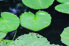 Lotus leaf. Heart in the basin Royalty Free Stock Images