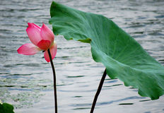 Lotus and leaf. A red lotus with a leaf in water Stock Photography