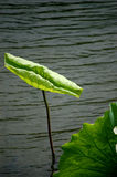 Lotus leaf. Two lotus leaves in water Stock Photography