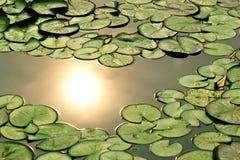 Lotus Leaf Fotos de archivo libres de regalías