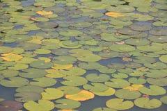 Lotus Leaf Lizenzfreie Stockbilder