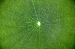 Lotus Leaf Royaltyfria Bilder