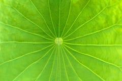 Lotus Leaf imagens de stock royalty free