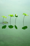 Lotus Leaf Stock Foto