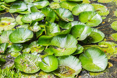 A lotus leaf Stock Photography