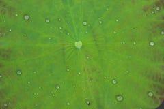 Lotus Leaf stock afbeelding