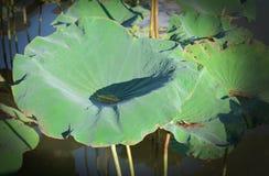 Lotus Leaf Immagine Stock Libera da Diritti