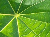Lotus Leaf Stockbilder