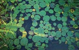 Lotus Leaf Immagini Stock Libere da Diritti