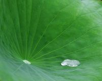 Lotus leaf. The lotus leaf is very beautiful Royalty Free Stock Photos